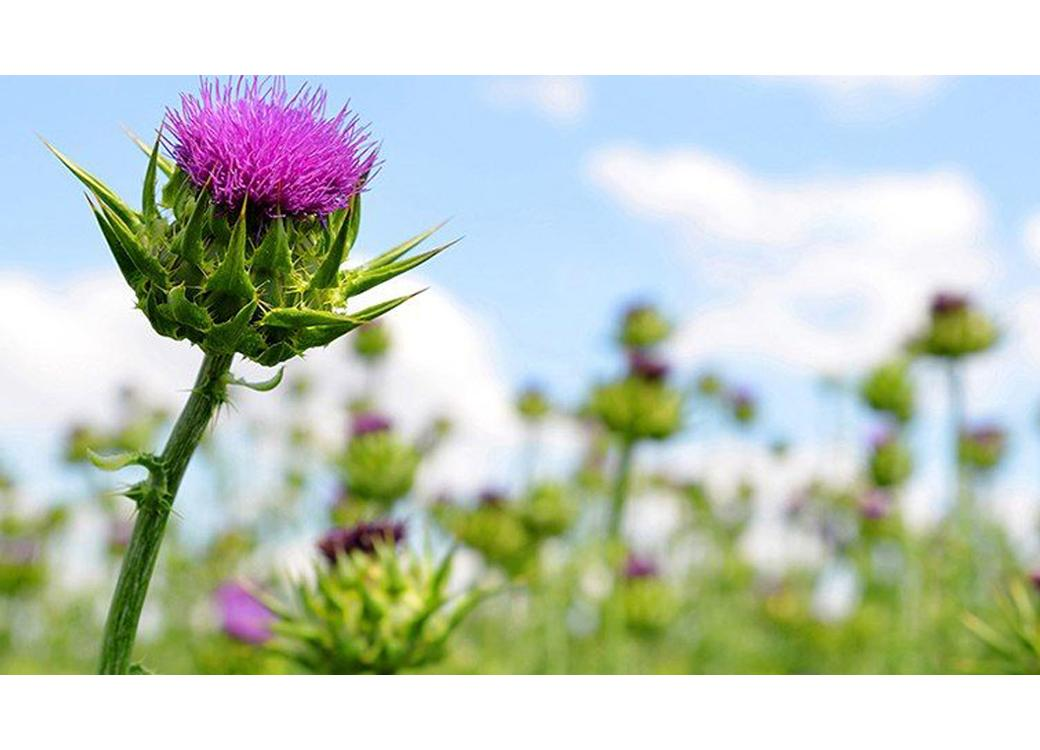 What Does Milk Thistle Do for Your Body?