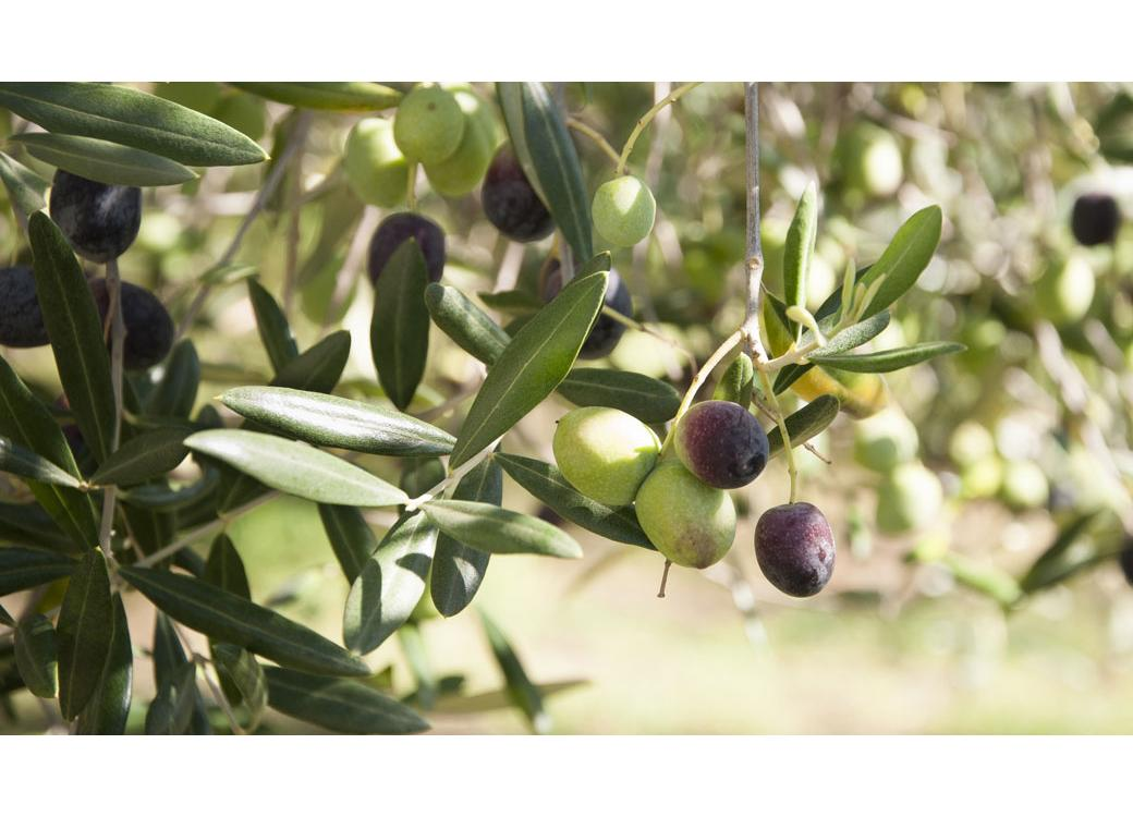 7 Surprising Benefits Of Olive